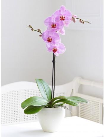 Орхидея одноствольная